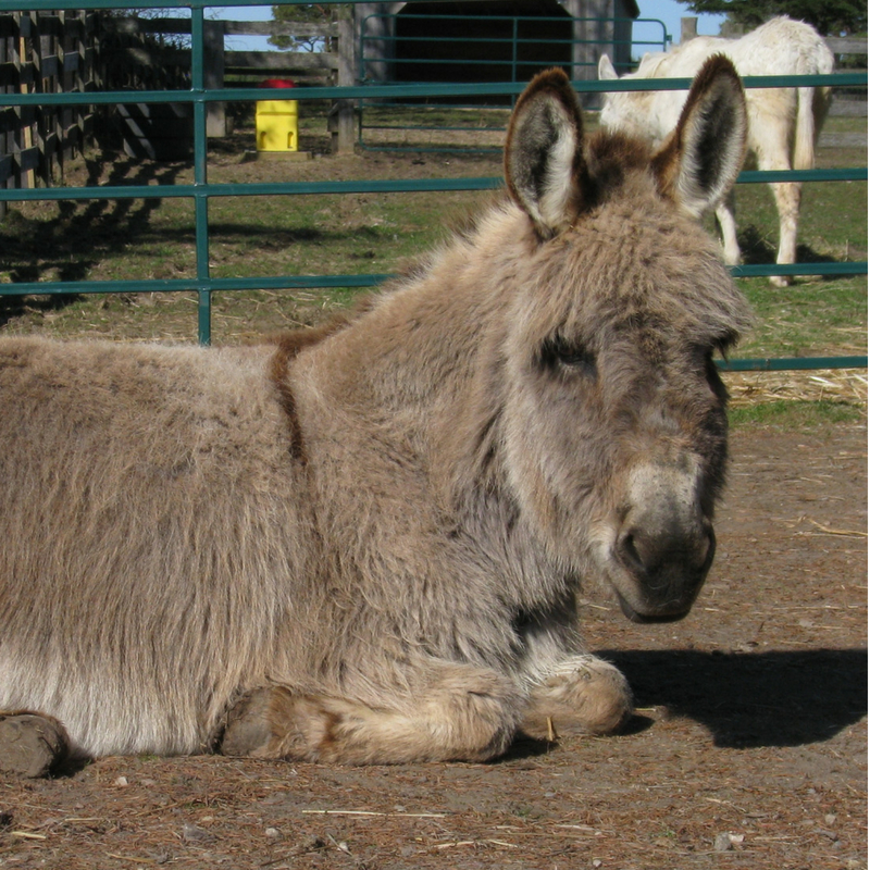 Miniature Donkey PRincess