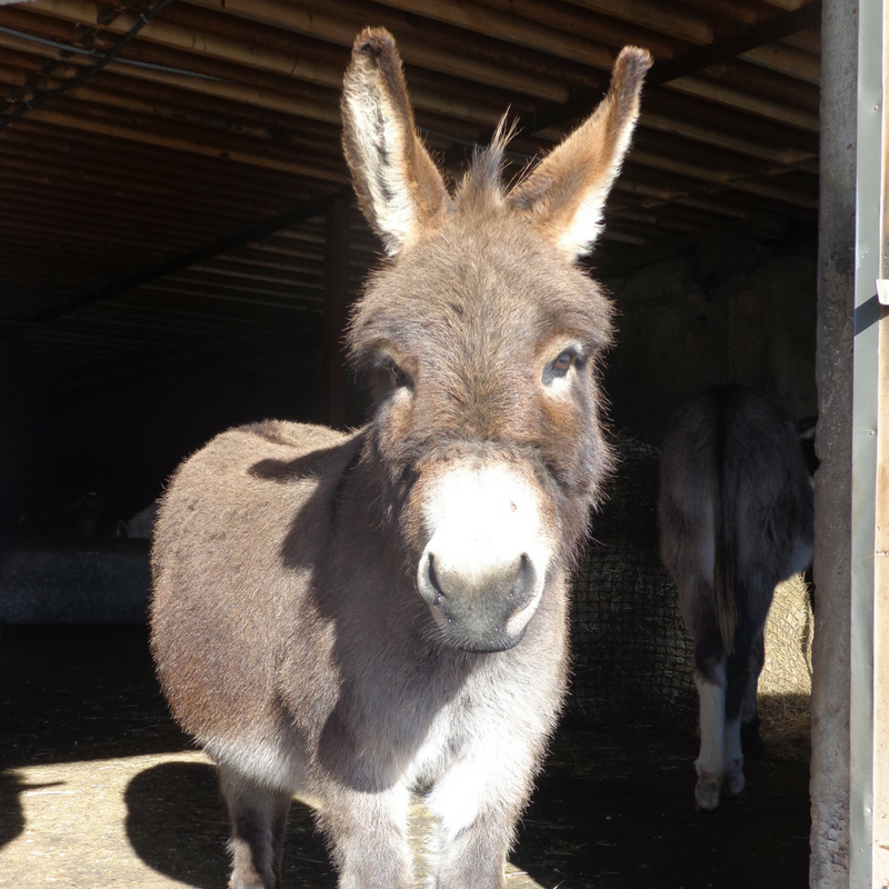 LArry Miniature Donkey