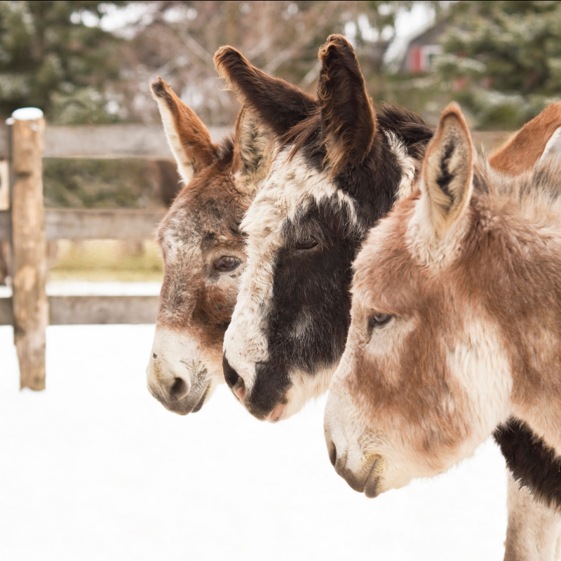 Three Donkeys Standing in the Snow