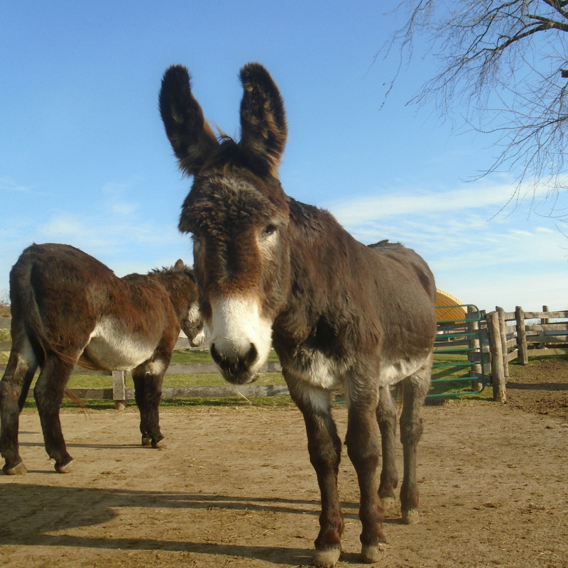 Two Donkeys Grazing