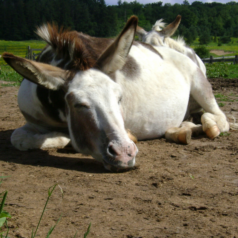 Foster Farm Donkey Laying in Sand